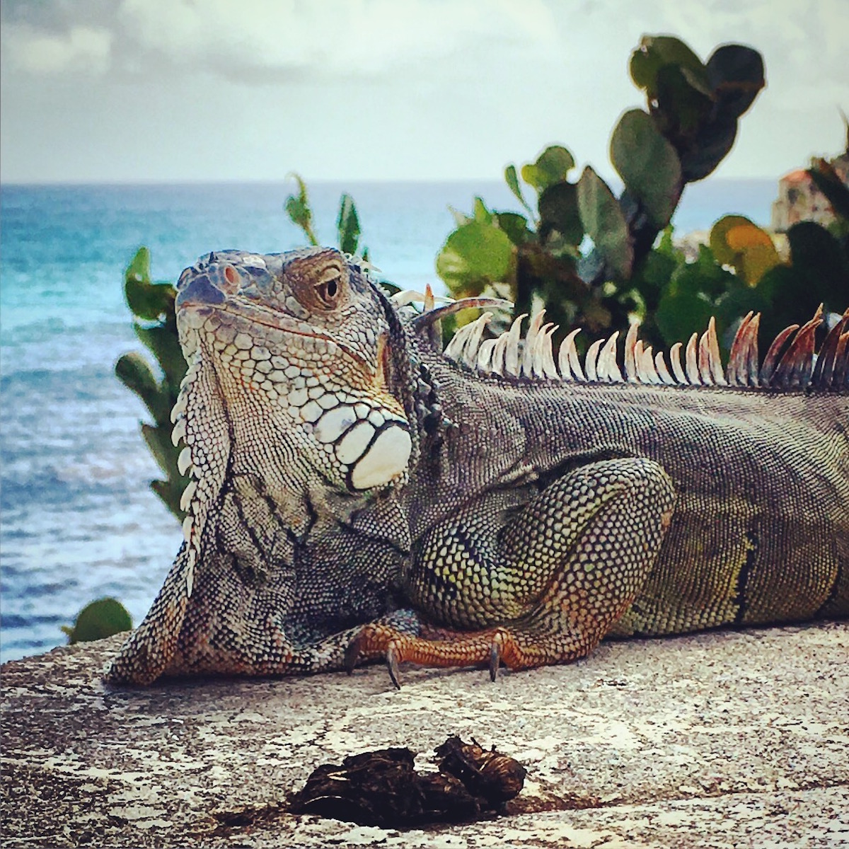 Sint Maarten - Iguana
